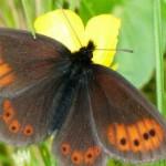 El mayor atlas genético de las mariposas de Europa