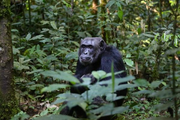 chimpance antibioticos