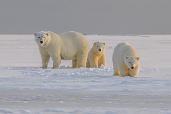 osos polares alaska
