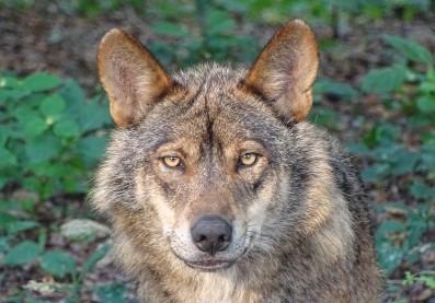 Esta medida supone el blindaje total del lobo y la prohibición de la caza